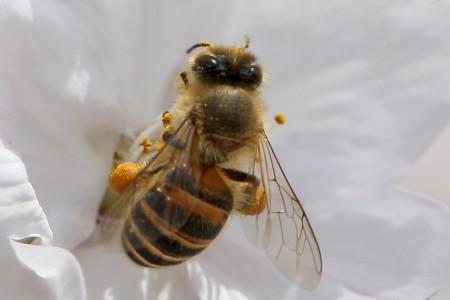 桜とハチ(等倍切り出し)