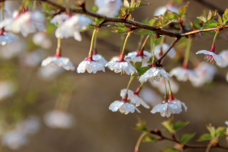 フジザクラの花と水滴