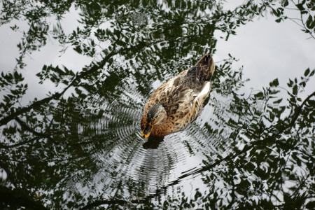 池のカモが波紋を起こす