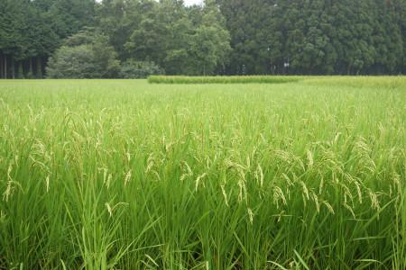 水田の稲穂