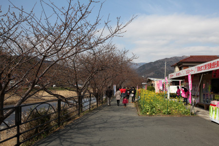 河津桜並木の様子(2013年2月12日)