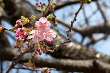 枝にはチラホラ開いた花も