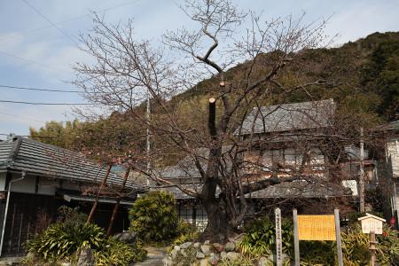 河津桜(カワヅザクラ)原木