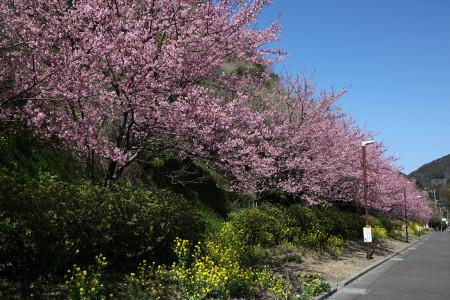 丸子宿の河津桜