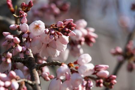 龍源院の枝垂桜
