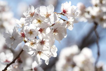 富士川S.A.の桜