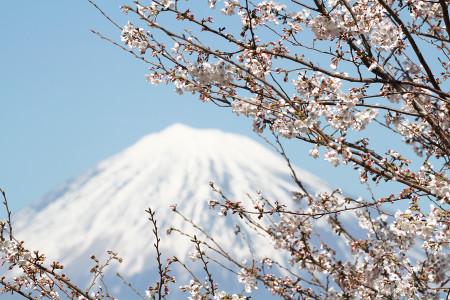 富士川S.A.の桜と富士山