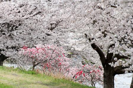 龍厳淵の桜(源平桃と)