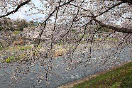龍厳淵の桜