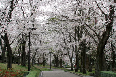広見公園の桜並木