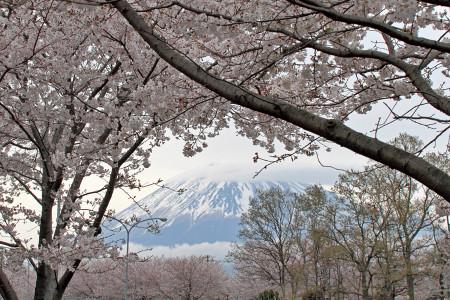 広見公園の桜と富士山
