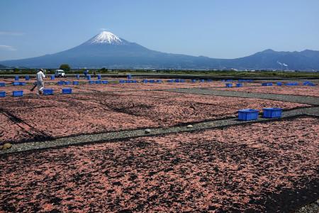桜えび天日干しと富士山の光景