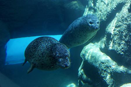 海獣館299のゴマフアザラシ
