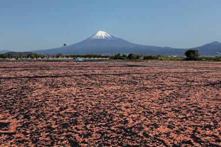 富士山と桜えびとヘリと