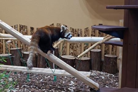 屋内のレッサーパンダ