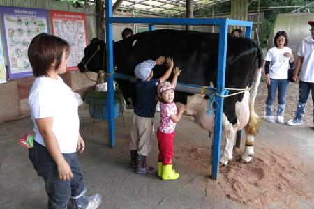 乳牛との触れ合い
