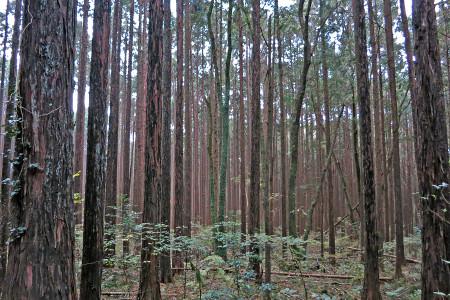 杉林の木々の色
