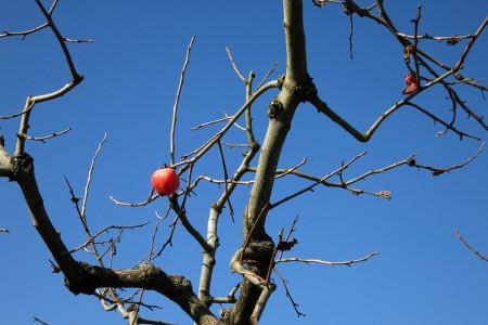 柿の実ひとつ