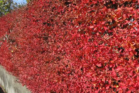 赤に染まる垣根