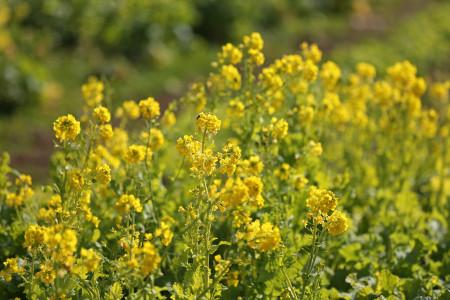 江間の菜の花