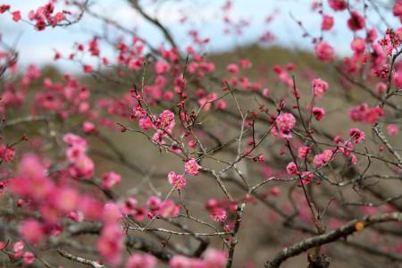 岩本山公園の紅梅