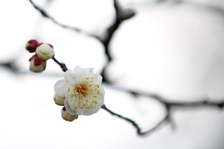 岩本山公園の白梅