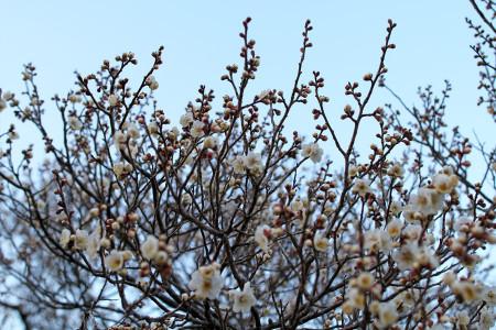 岩本山公園の梅