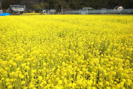 北江間の菜の花