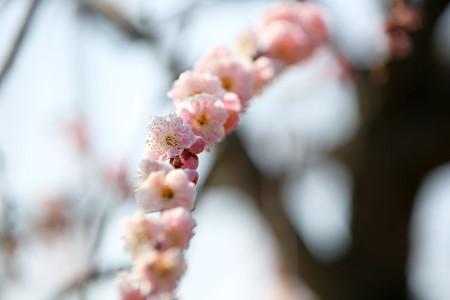 枝垂れ梅の枝