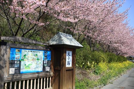 静岡市丸子のカワヅザクラ