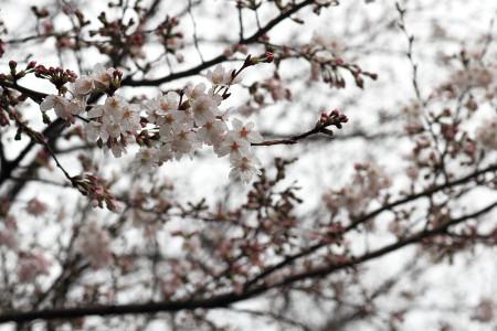 静岡市内の桜
