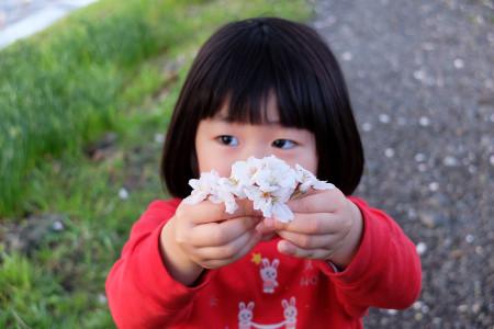 桜拾ったよ!