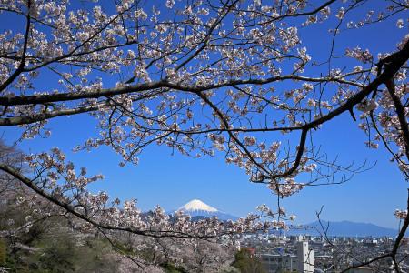 桜と富士山の眺望
