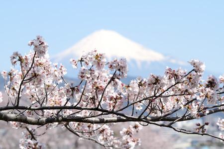 桜と富士山
