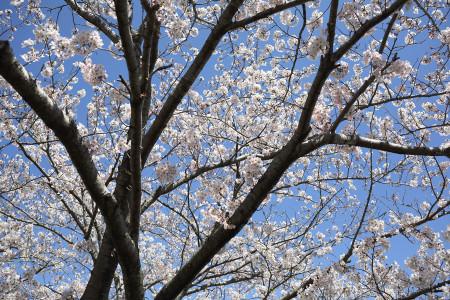 公園周囲の桜も見頃