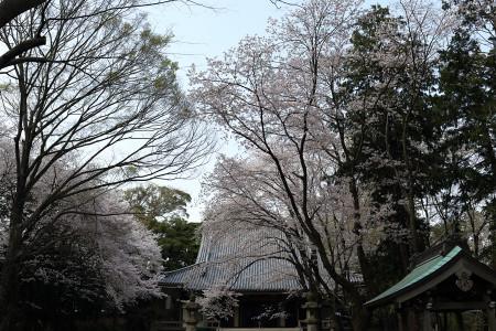境内の大きな桜