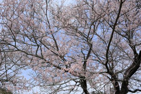 実に見事な桜