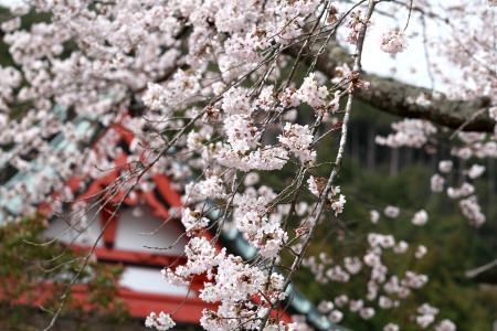 桜はほぼ満開
