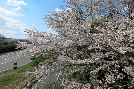 北山の桜も満開