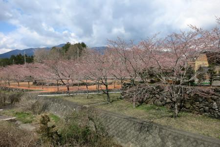 風の湯の桜(4月6日)