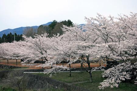 風の湯の桜