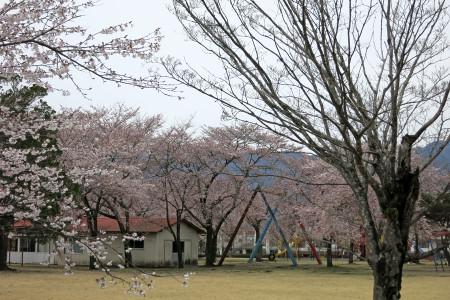ドライブインもちやの桜
