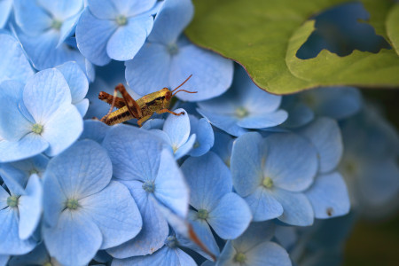 紫陽花とフキバッタ