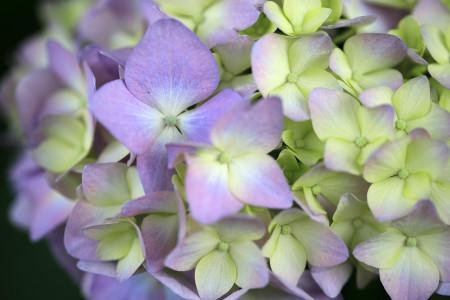岩本山公園の紫陽花