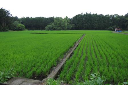 稲が育っている水田