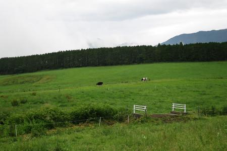乳牛の帰宅