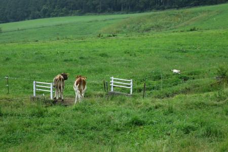 朝霧高原の猫と牛
