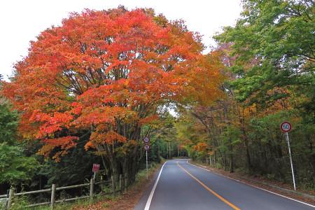 県道71号富士河口湖町~鳴沢村にかけての紅葉