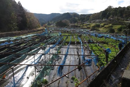 筏場のわさび畑