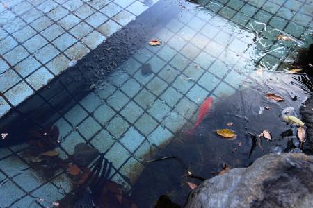 富士宮市役所池の鯉